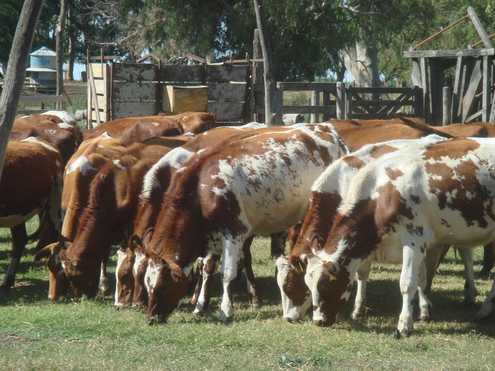 SENASA prorrogó hasta 31 de mayo la recertificación por brucelosis y tuberculosis bovina