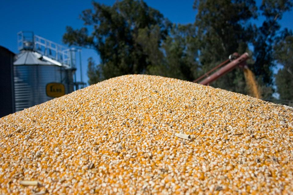 Récord de exportaciones de maíz entre enero y agosto: fueron 24,9 M/ton
