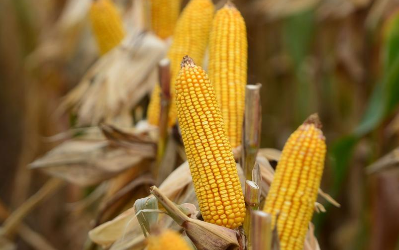Córdoba sexto productor mundial de maíz con 21,2 M/tn