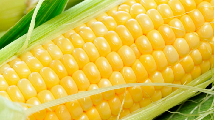 Bolsa rosarina apuesta a una campaña de 51 M/ton de maíz con buenos rindes y un clima favorable