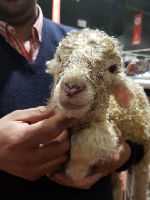 En Palermo 2019, nació la oveja María Eugenia y el ternero angus De Rossi