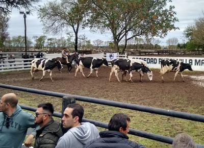 Mañana sábado remate de 350 vaquillonas holando de San Miguel en Villa María