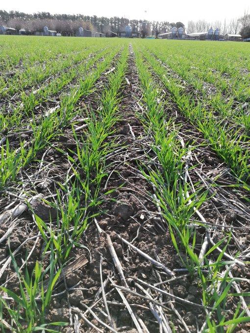 Se sembraron 6,6 M/ha con trigo con buen clima y oferta hídrica