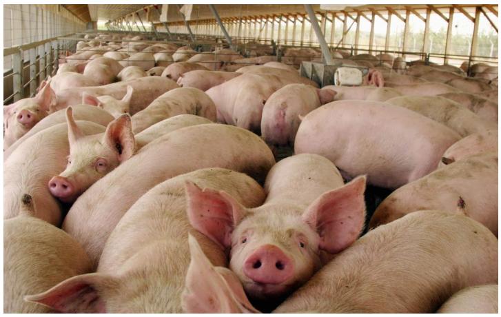 El negocio no cierra para la producción porcina: los costos sobrepasan a los precios