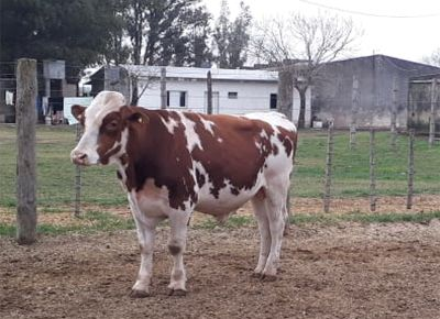 Se subastó toro holando colorado en $ 440 mil en Pozo del Molle