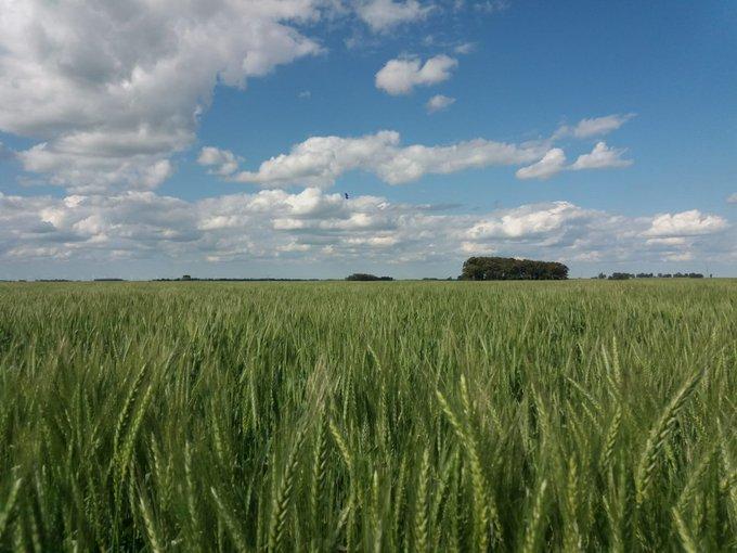 La sequía afecta al trigo y la siembra de otros cultivos de invierno