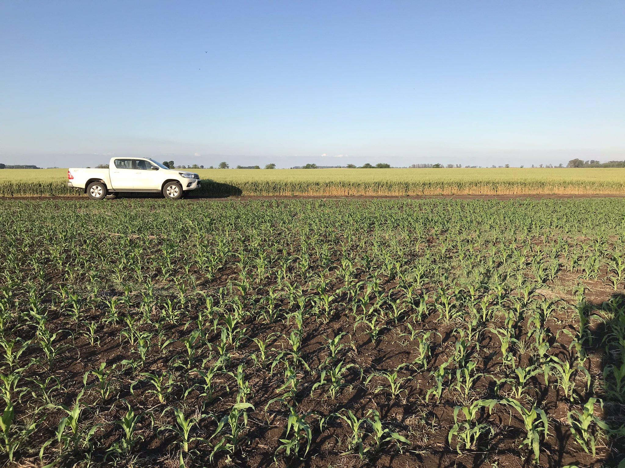 La campaña de maíz de afronta con una «gran incertidumbre», aseguró bolsa cordobesa