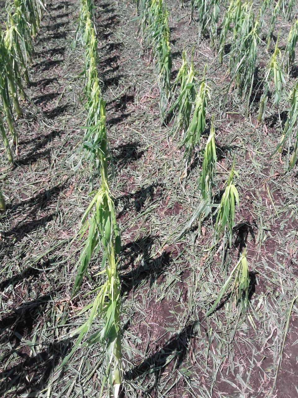 «En Olavarría y Tandil, no hay desarrollo de pasturas por la sequía», explicó Aiello