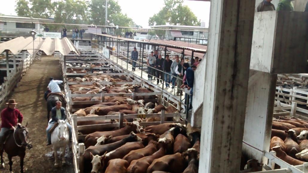 La faena bovina en alza desde mediados de 2019: cautela de ganaderos