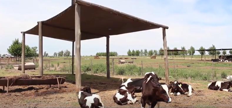 Con los termometros en rojo, baja la producción y las vacas necesitan refrescarse
