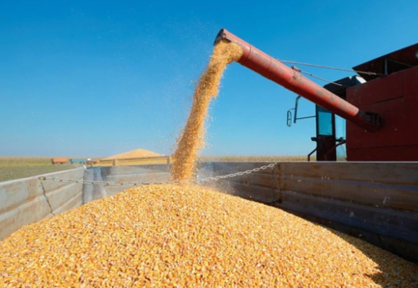 Baja el precio del maíz en Chicago pero trepa el valor en el Gran Rosario