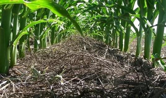 El alto nivel de humedad en granos de maíz dificulta su cosecha en centro-norte de Santa Fe