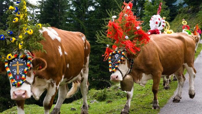 «Vacche, latte e metano»: ¿cuál es el problema?
