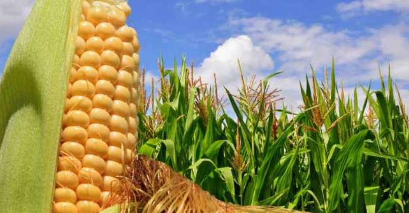 Pese a descontar pérdidas, el maíz en Chicago se ubica a u$s 125 para la posición mayo