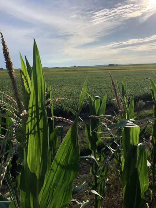 En el sur bonaerense, la producción de maíz rondaría casi las 6 M/tn en campaña 2019-2020
