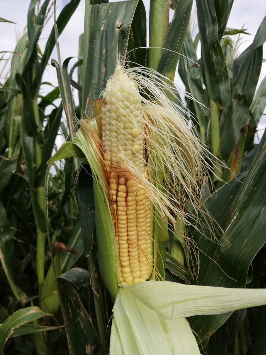 La debilidad del dólar estadounidense y el mercado exportador apuntaló los precios del maíz