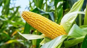 Trazabilidad y contratos, las claves del negocio de los maíces especiales