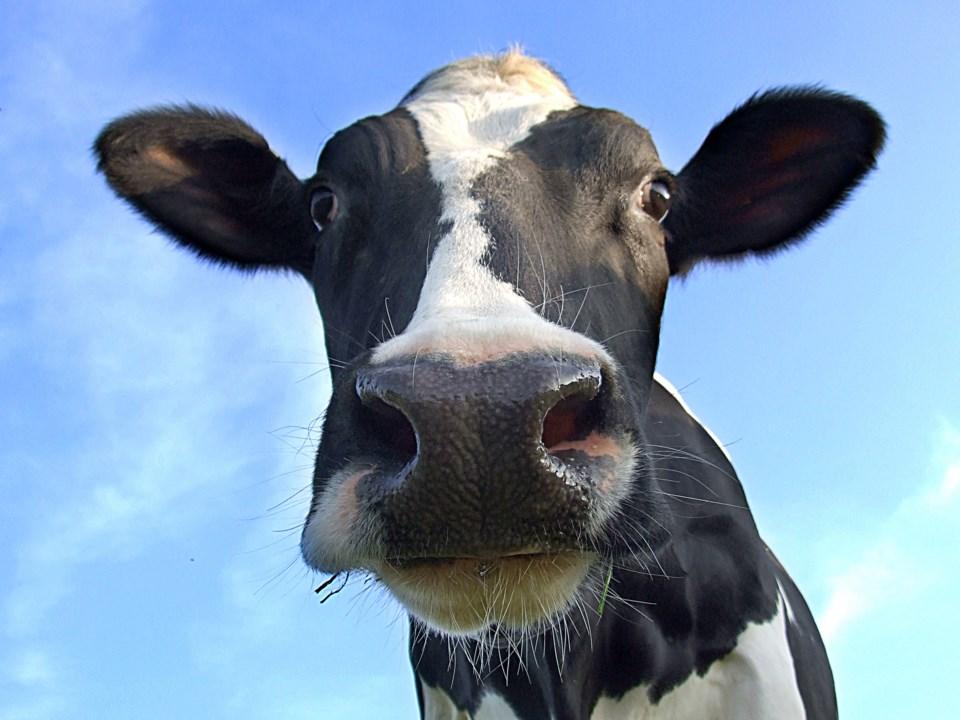 En el este de Canadá, productores obligados a tirar leche