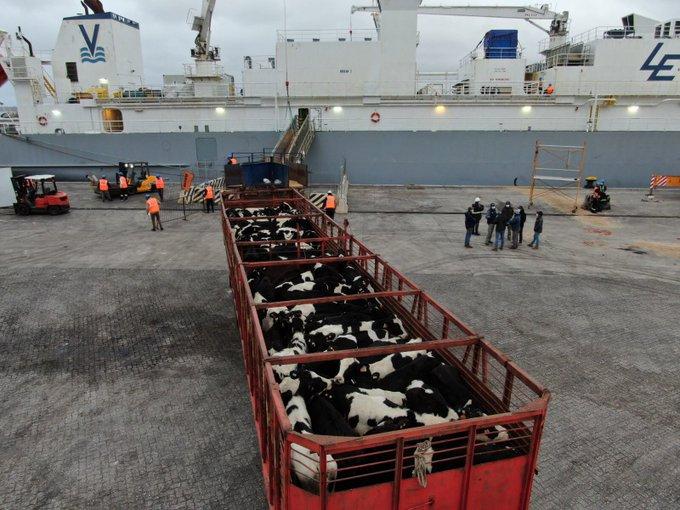 Llegaron a China los primeros lotes de vaquillonas holando de Uruguay