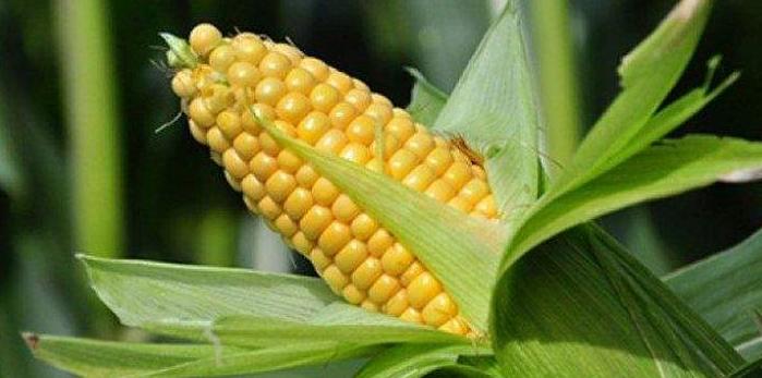 El maíz sigue en alza en el mercado de Estados Unidos