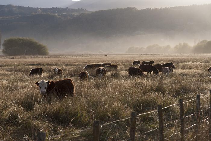 Primer remate online de bovinos en la Patagónica: a $ 110 para los Terneros