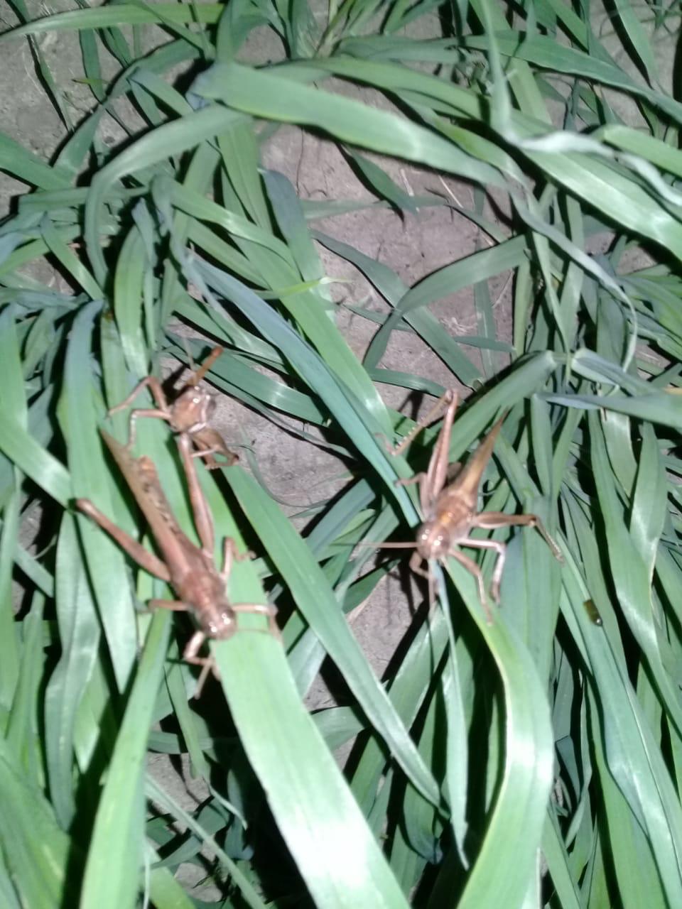 Mangas de langostas ponen en alerta al norte de Santa Fe provenientes de Paraguay