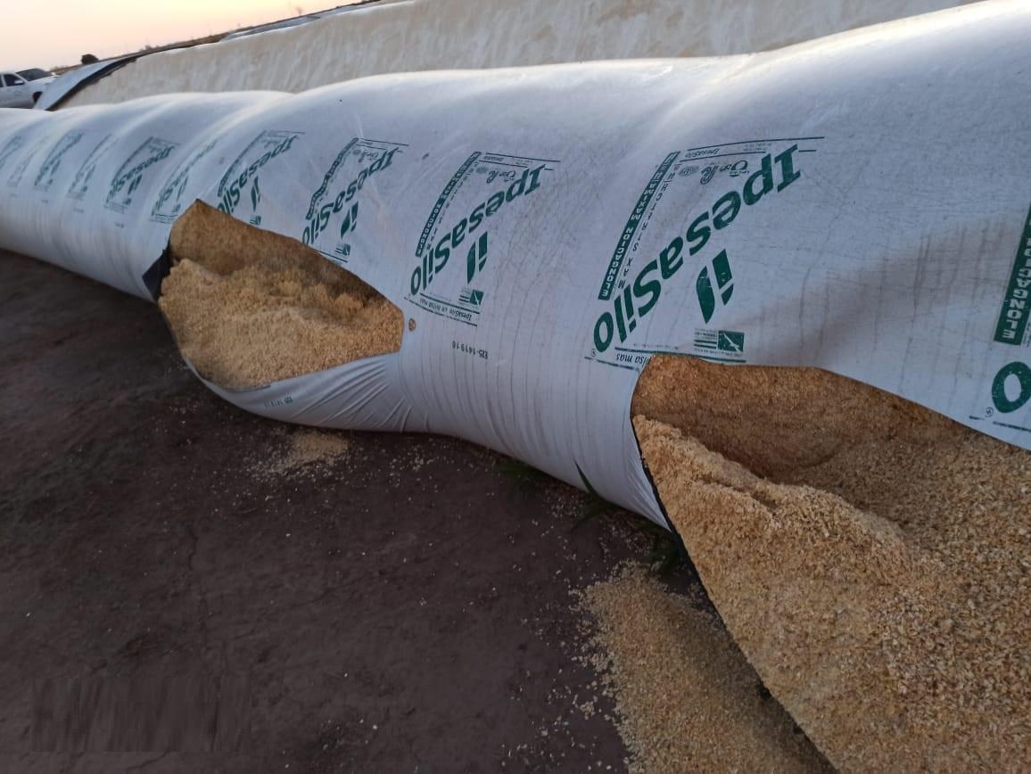 Tambo en Villa María sufre rotura de seis silobolsas con maíz picado para sus vacas lecheras