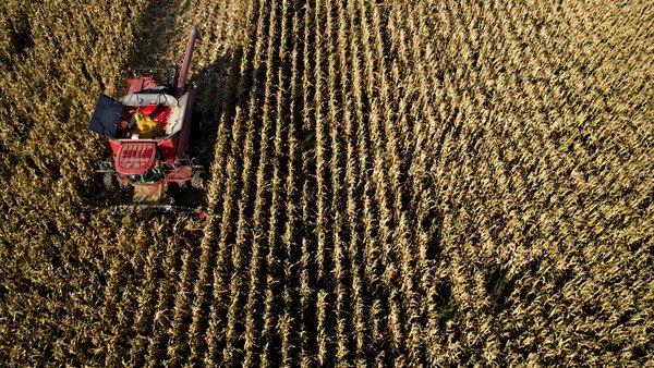 Clima frío y seco en el norte y centro de Santa Fe aceleró la cosecha de maíz de segunda