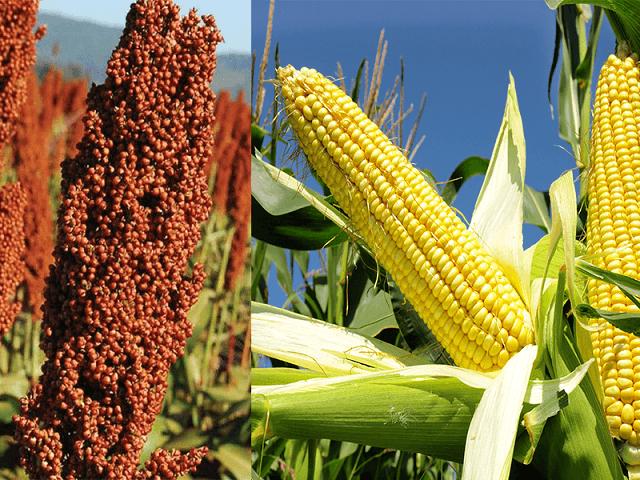 Finalizó cosecha de maíz ciclo 2019-20: rinde de 8.170 kilos/ha y volumen de 50 M/tn