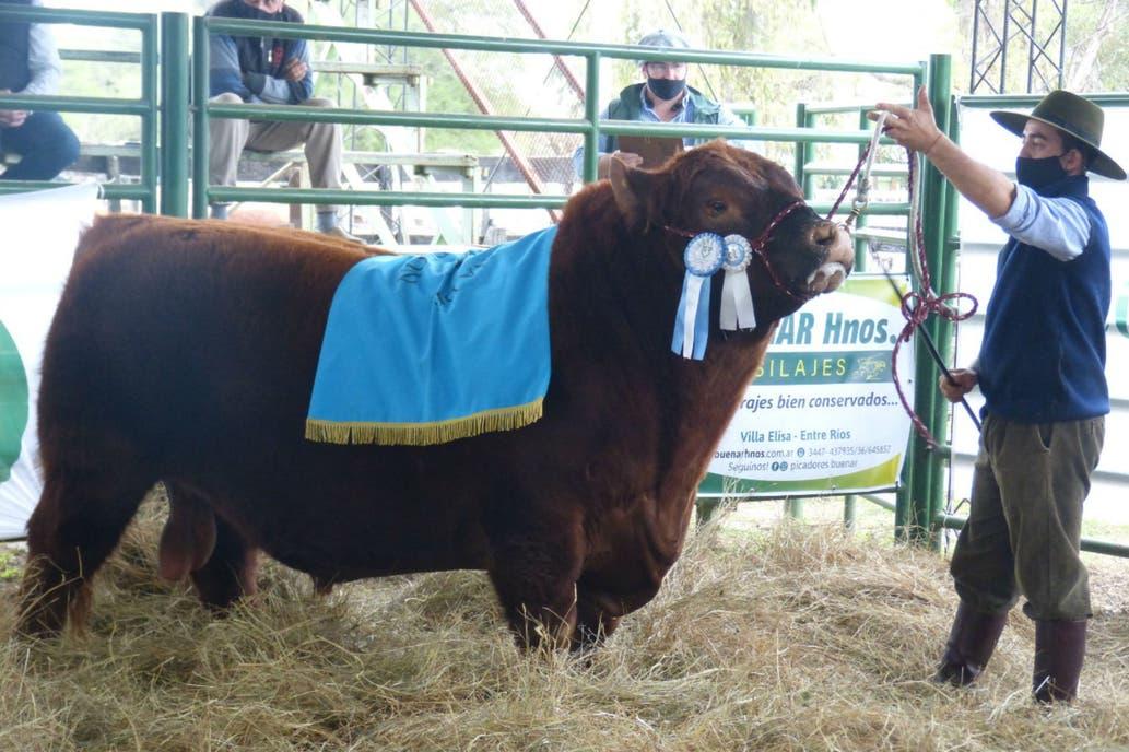Se vendió 50% de toro de raza angus valuado en $ 5,3 millones