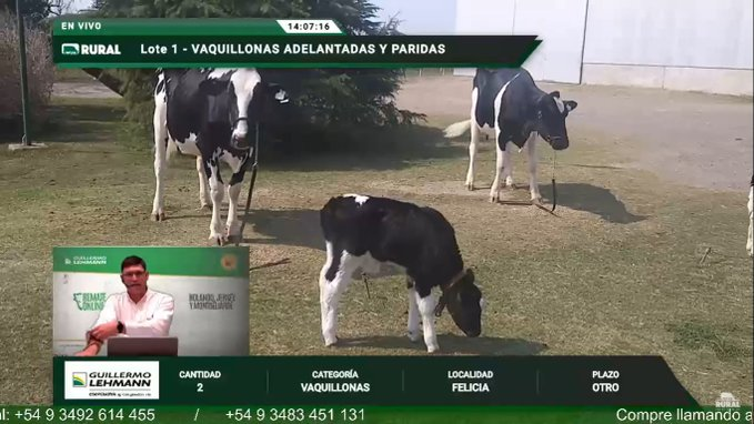 La Lehmann realizó sexta subasta online desde Pilar: toros holando se pagaron a $ 250 mil