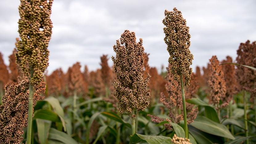 Sorgo comenzó a recuperar lugar en el agro argentino
