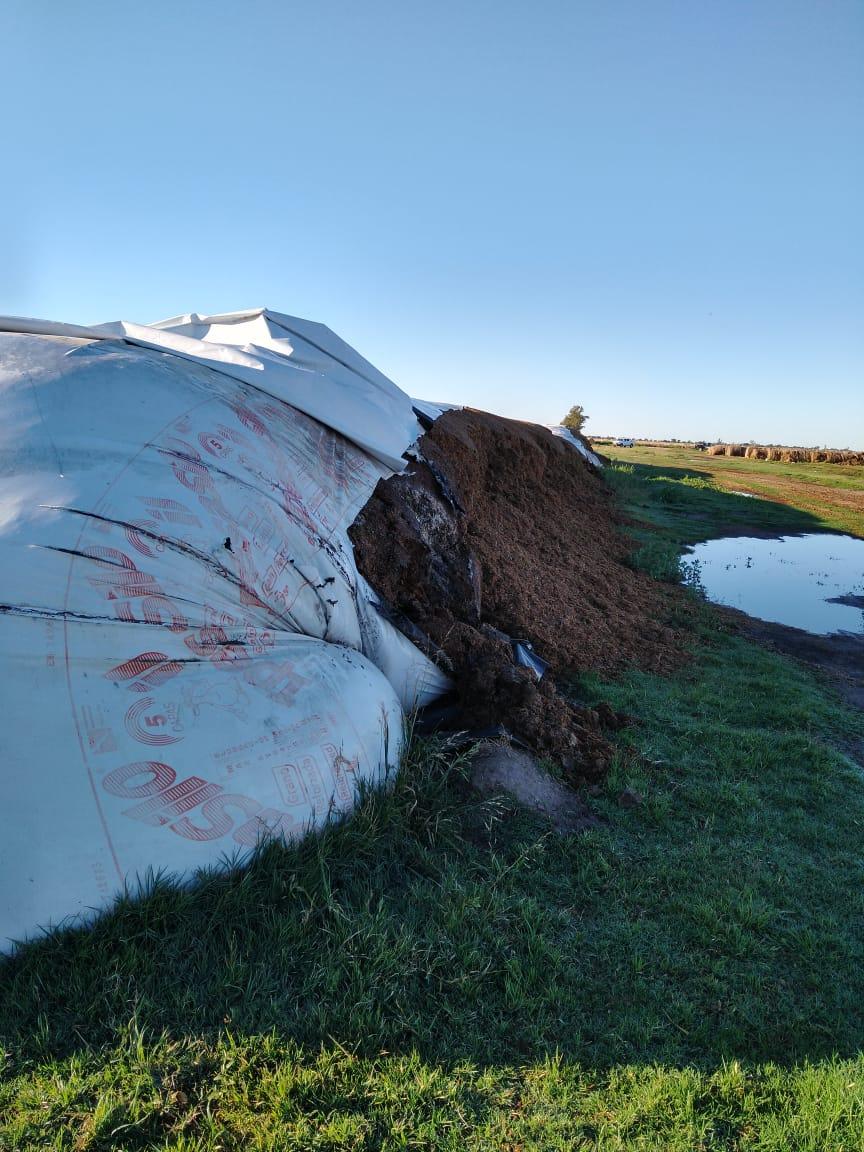 Nueva rotura de silobolsa: corte a 600 metros en alimentos para vacas lecheras en Josefina
