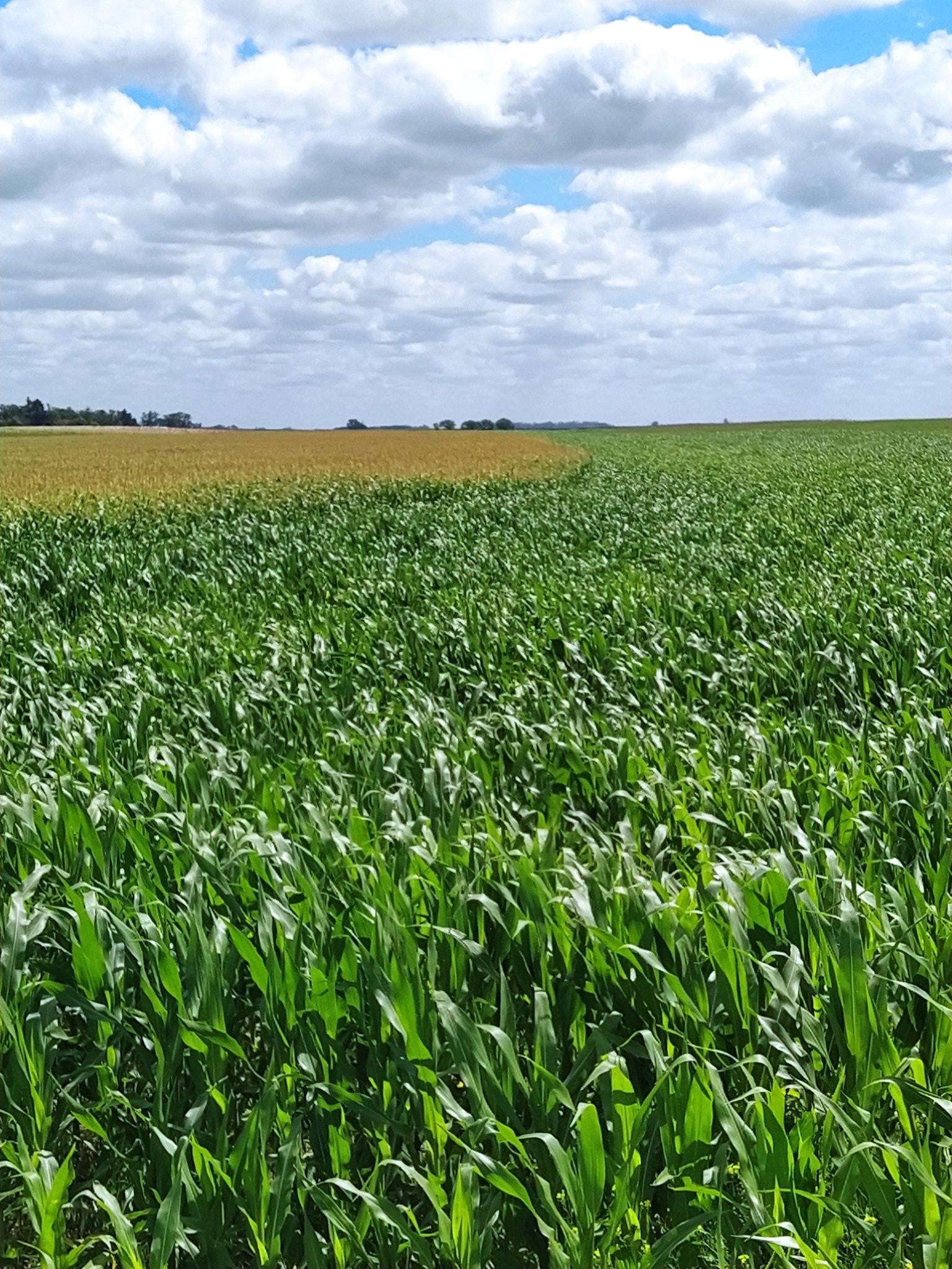 Impacto favorable de las lluvias en el maíz: se estima un 5% más de volumen contra enero '21