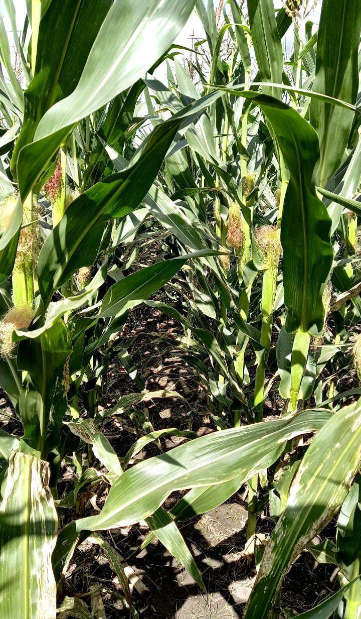 Mala condición del maíz de segunda en Entre Ríos