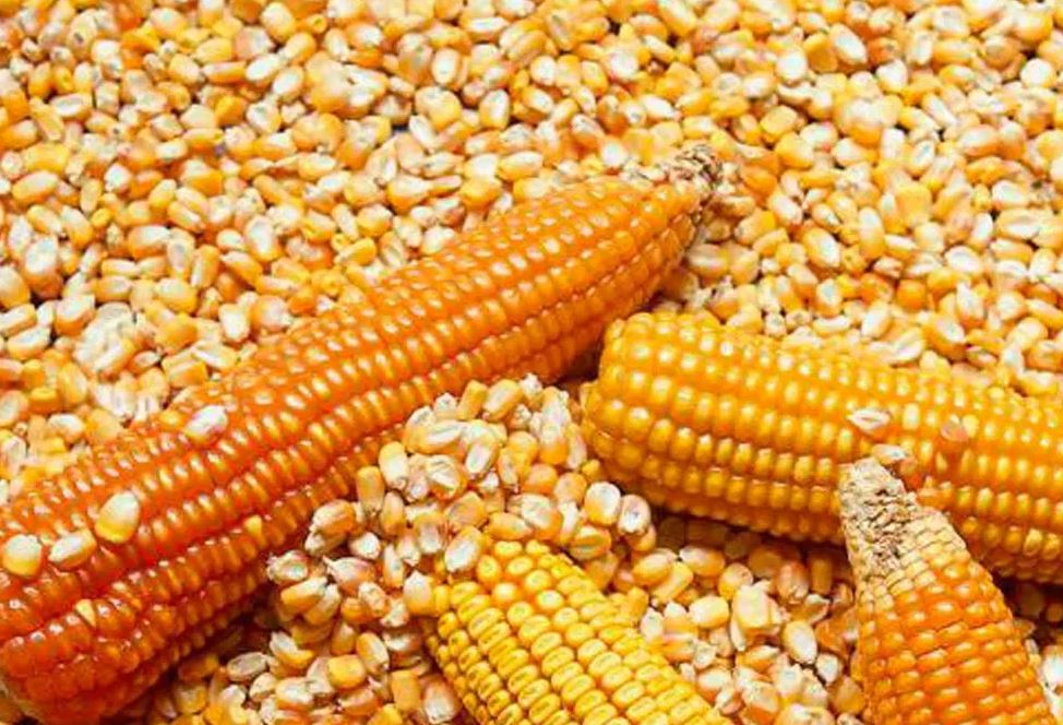 El precio del maíz disponible tocó los $ 19.500: genera preocupación en la producción