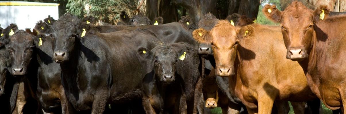 El 80% de los productores de bovinos bonaerenses ya cumplió con la DOES