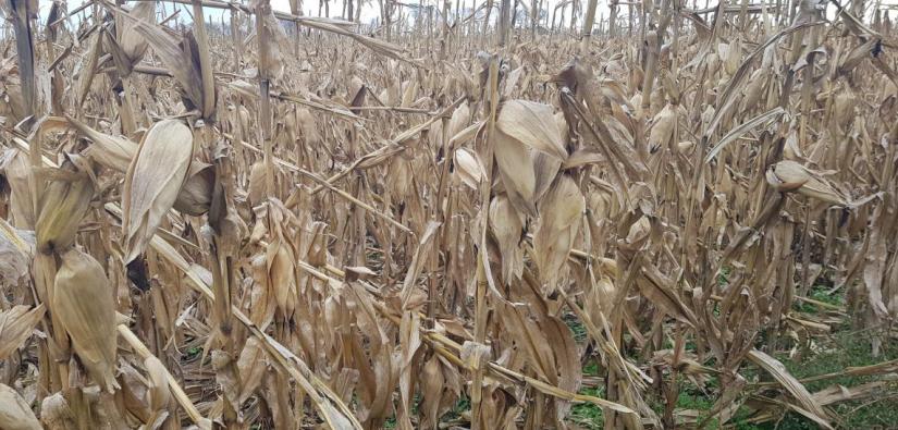 La cosecha de maíz de segunda avanza lento en Castellanos y Las Colonias