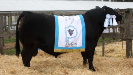 El mejor toro Angus de Coronel Dorrego se vendió en 570 mil pesos