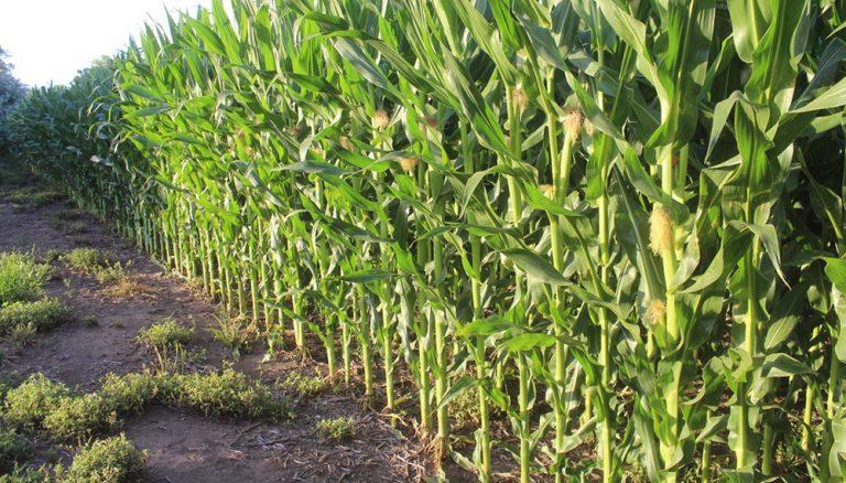 La siembra de maíz aguarda lluvias que hagan despegar las labores de cobertura